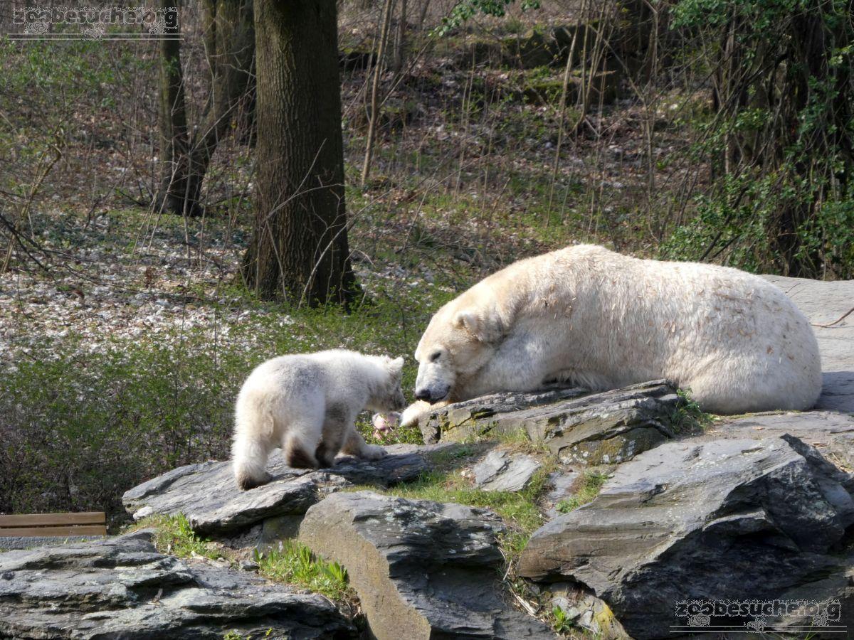 Eisbär  (107)