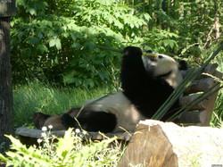 Panda  (16)
