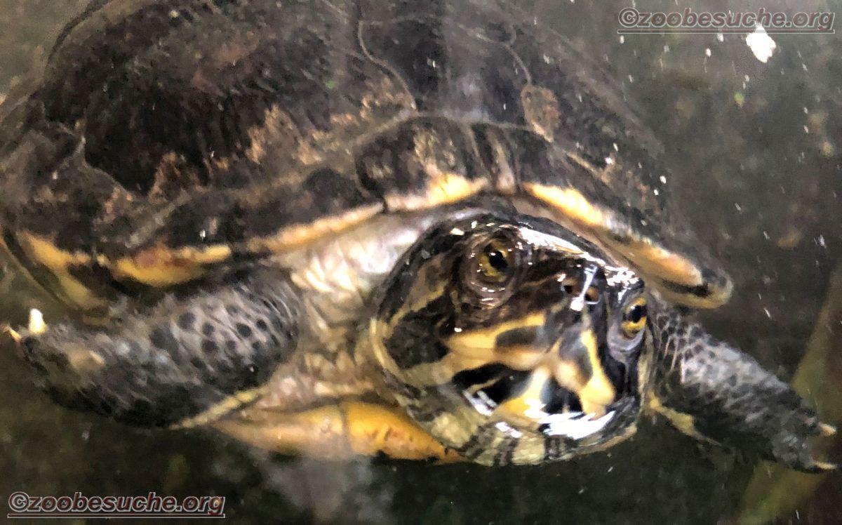 Scildkröte  (2)
