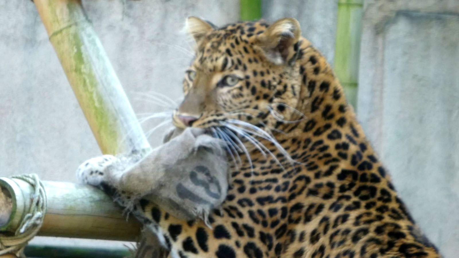 Leopard Julius  (8)