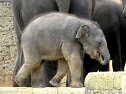 Elefantenbaby  (2)