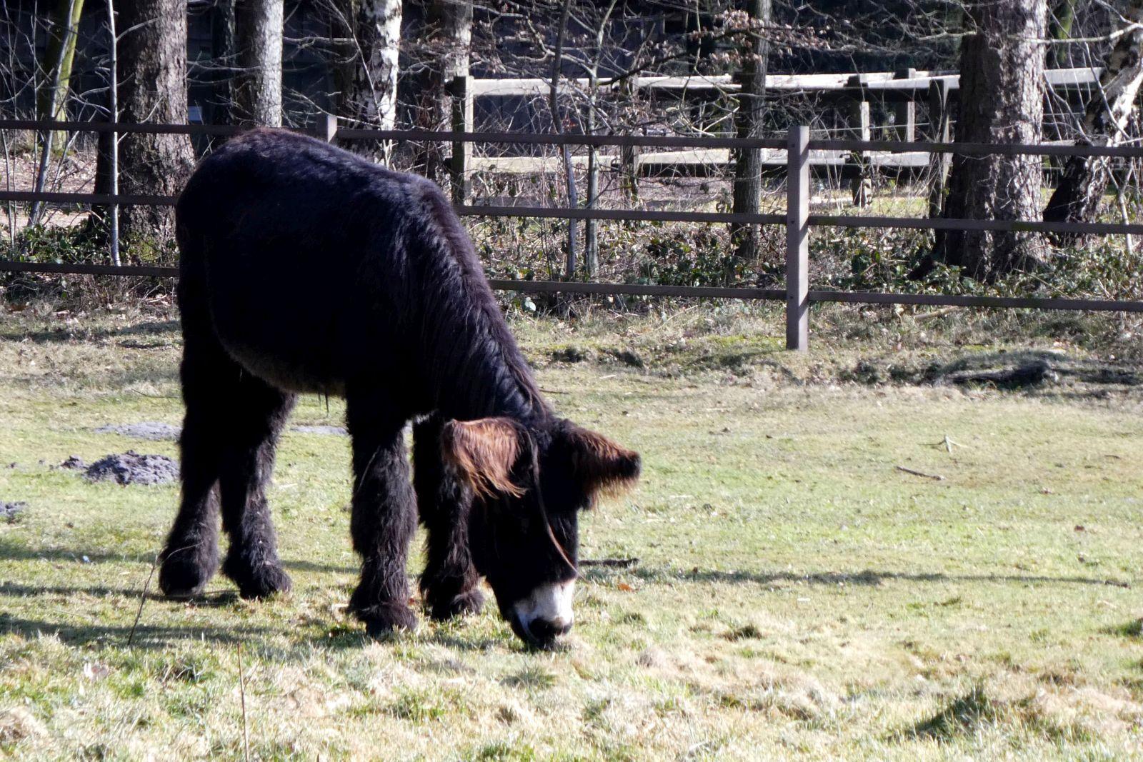 Poitou-Esel  (1)