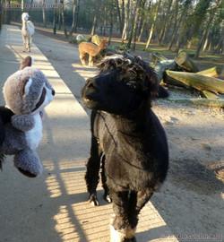 Wuschel mit Alpaka (1)