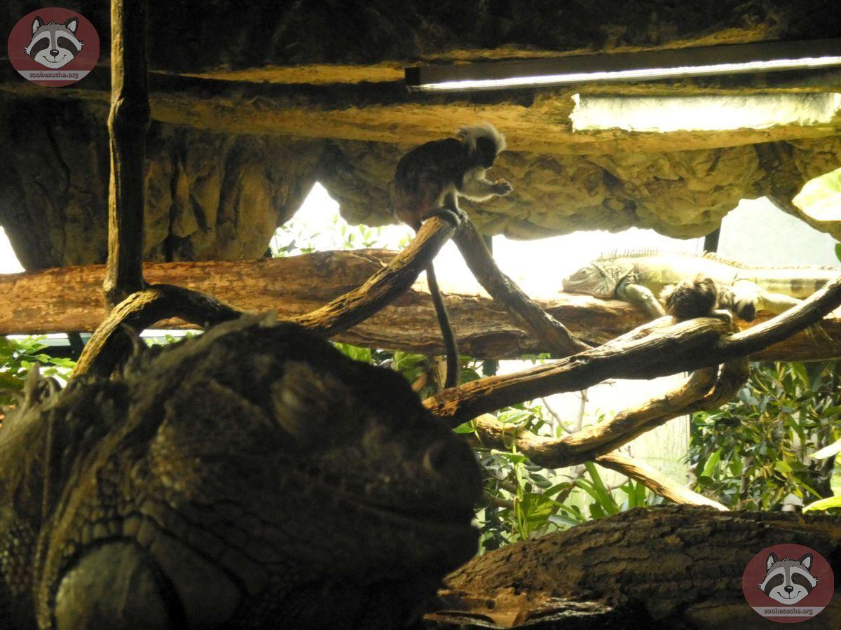 Grüner Leguan (2)