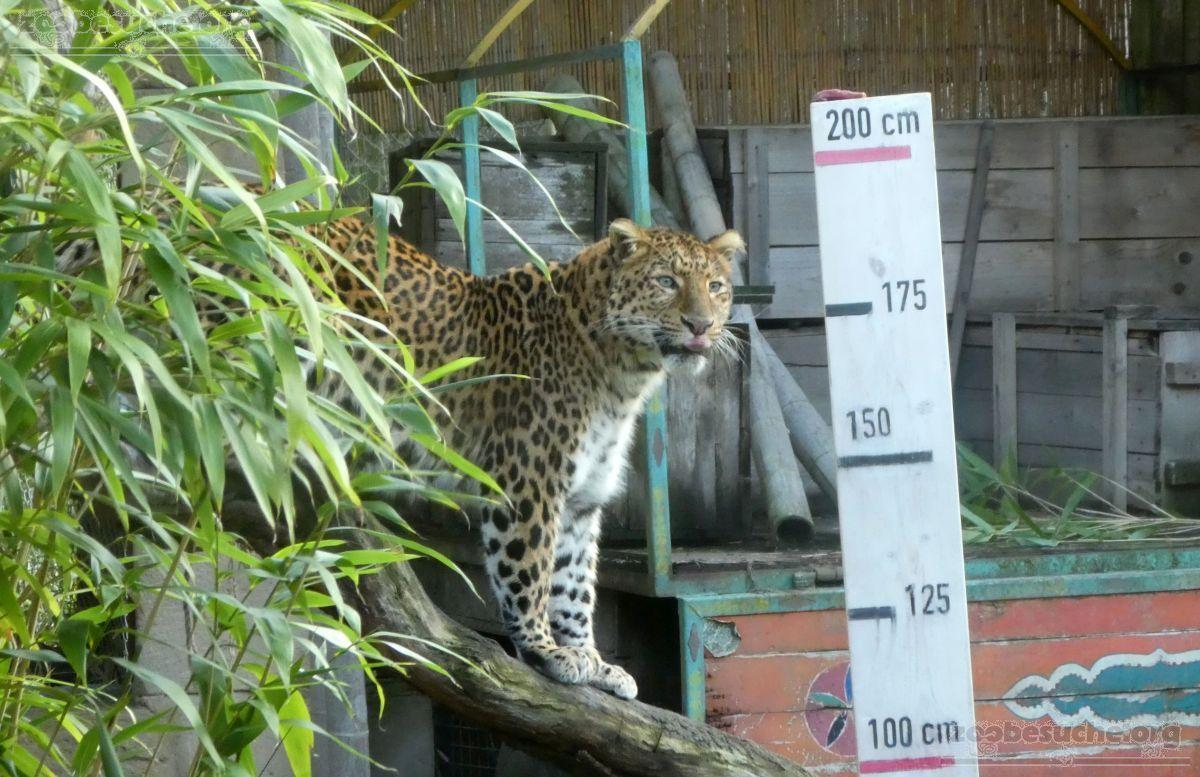 Leopard Julius  (19)