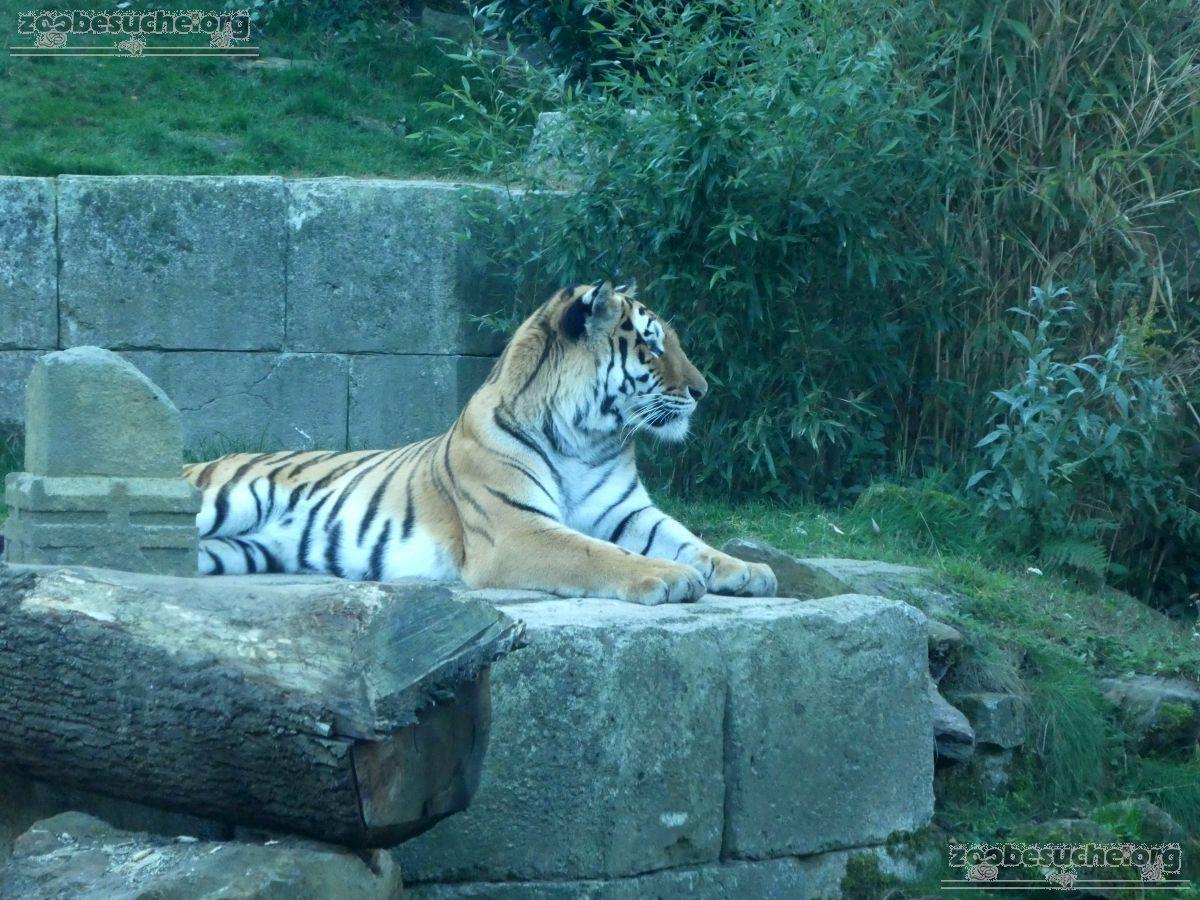 Tiger Aljosha  (16)
