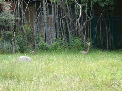 Südliche_Giraffengazelle__(3)