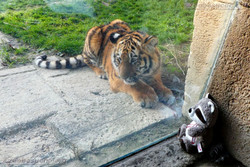 Wuschel mit Tiger Jungtier  (7)