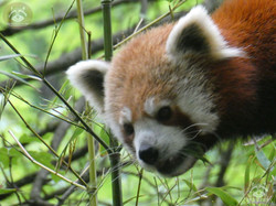 Roter Panda  (16)