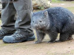 Tasmanischer Nacktnasenwombat Maya  (7).