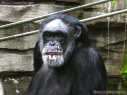 Schimpansen  (12)