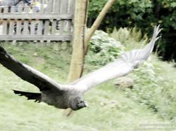 Andenkondor  (8)