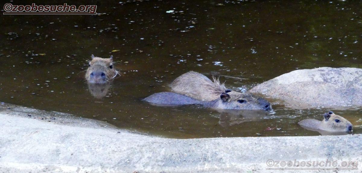 Wasserschwein (1)