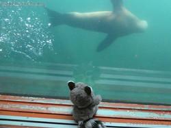 Wuschel schaut den Seelöwen zu
