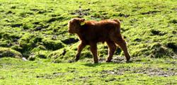 Schottisches Highland Rind  (7)