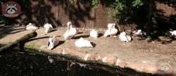 Pelikane