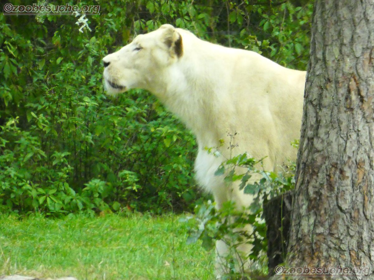 Weißer Löwe  (7)