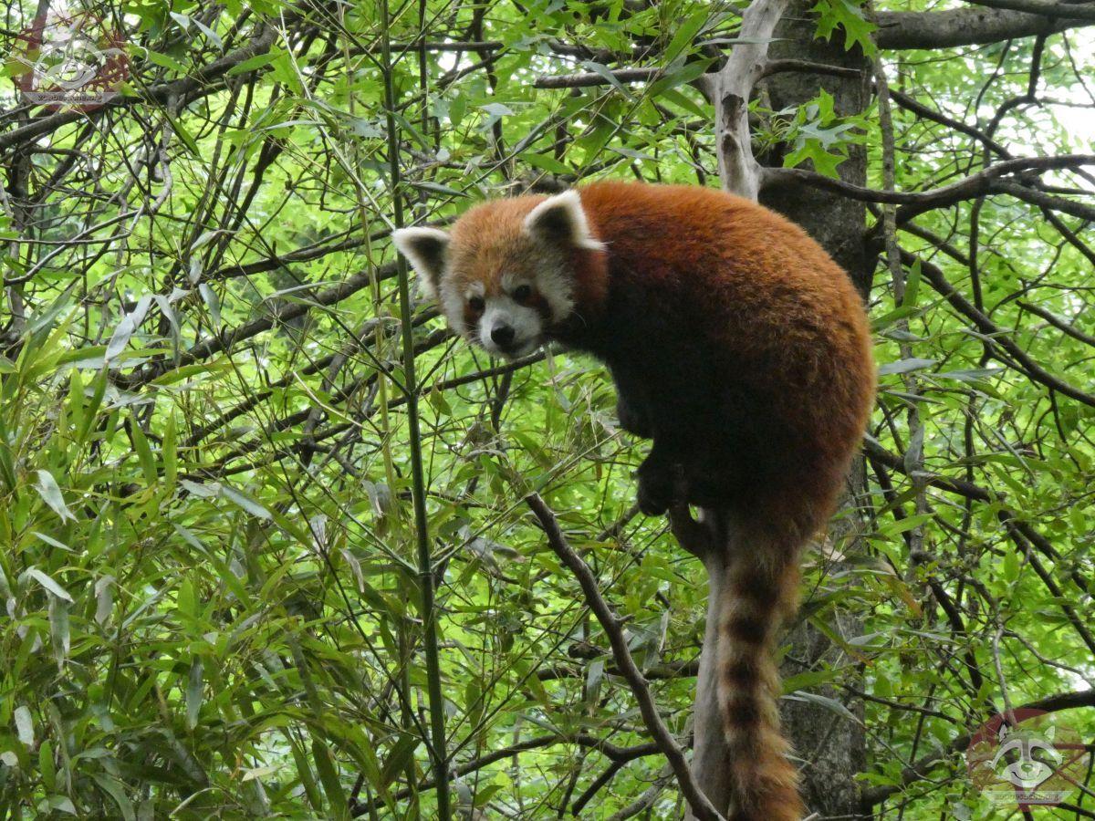 Roter Panda  (22)