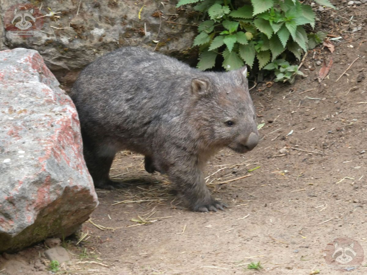 Wombat Kelly  (1)