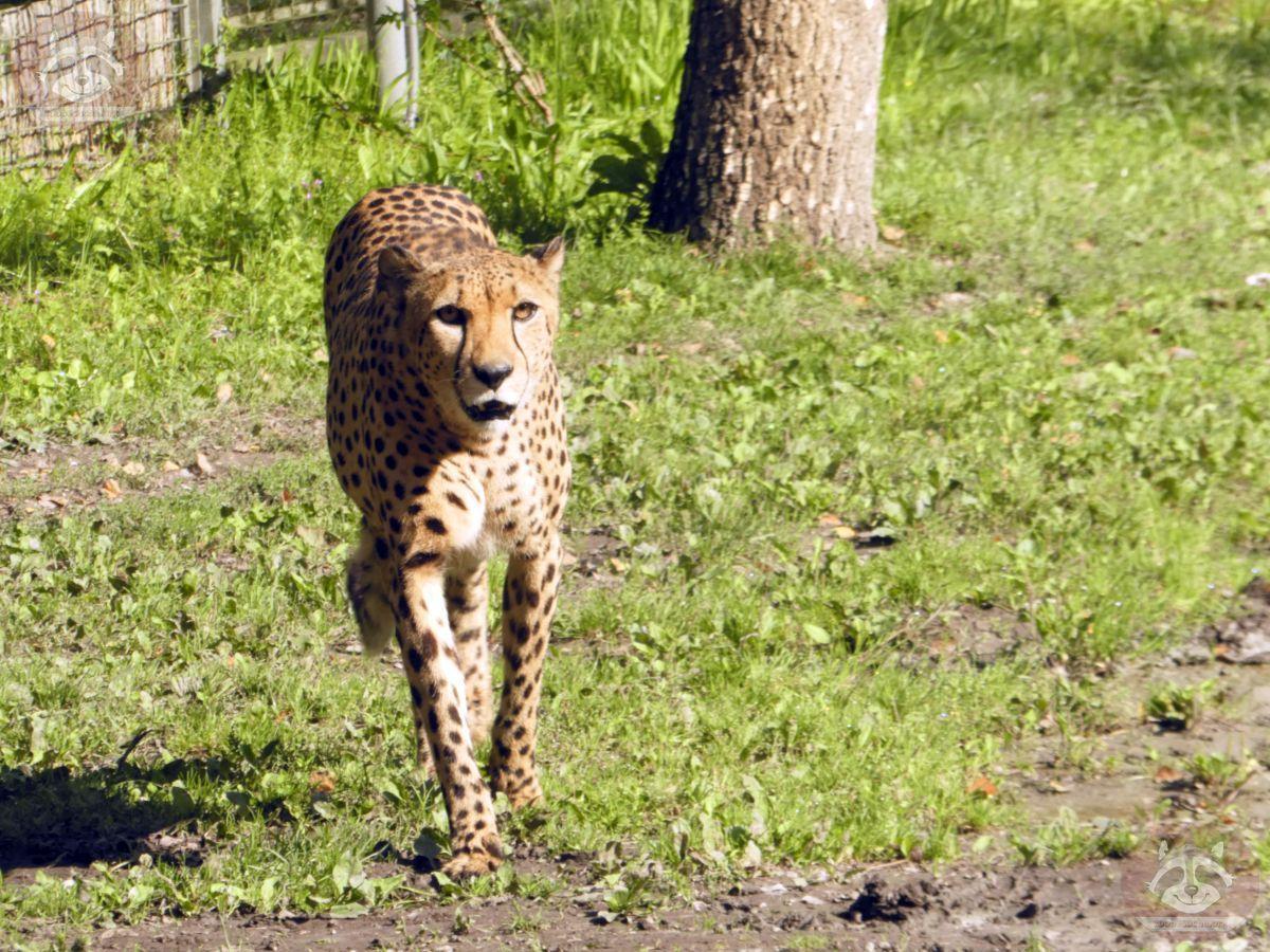 Gepard (4)