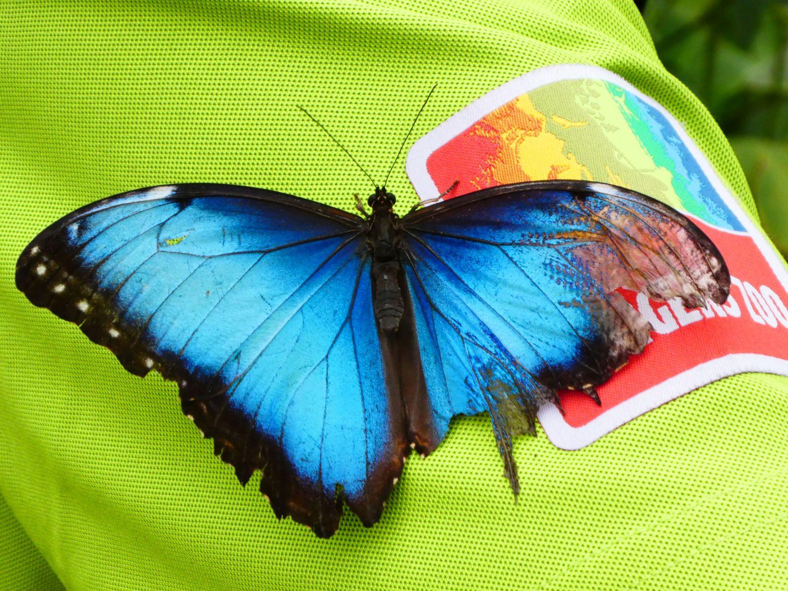 Schmetterling  (5)