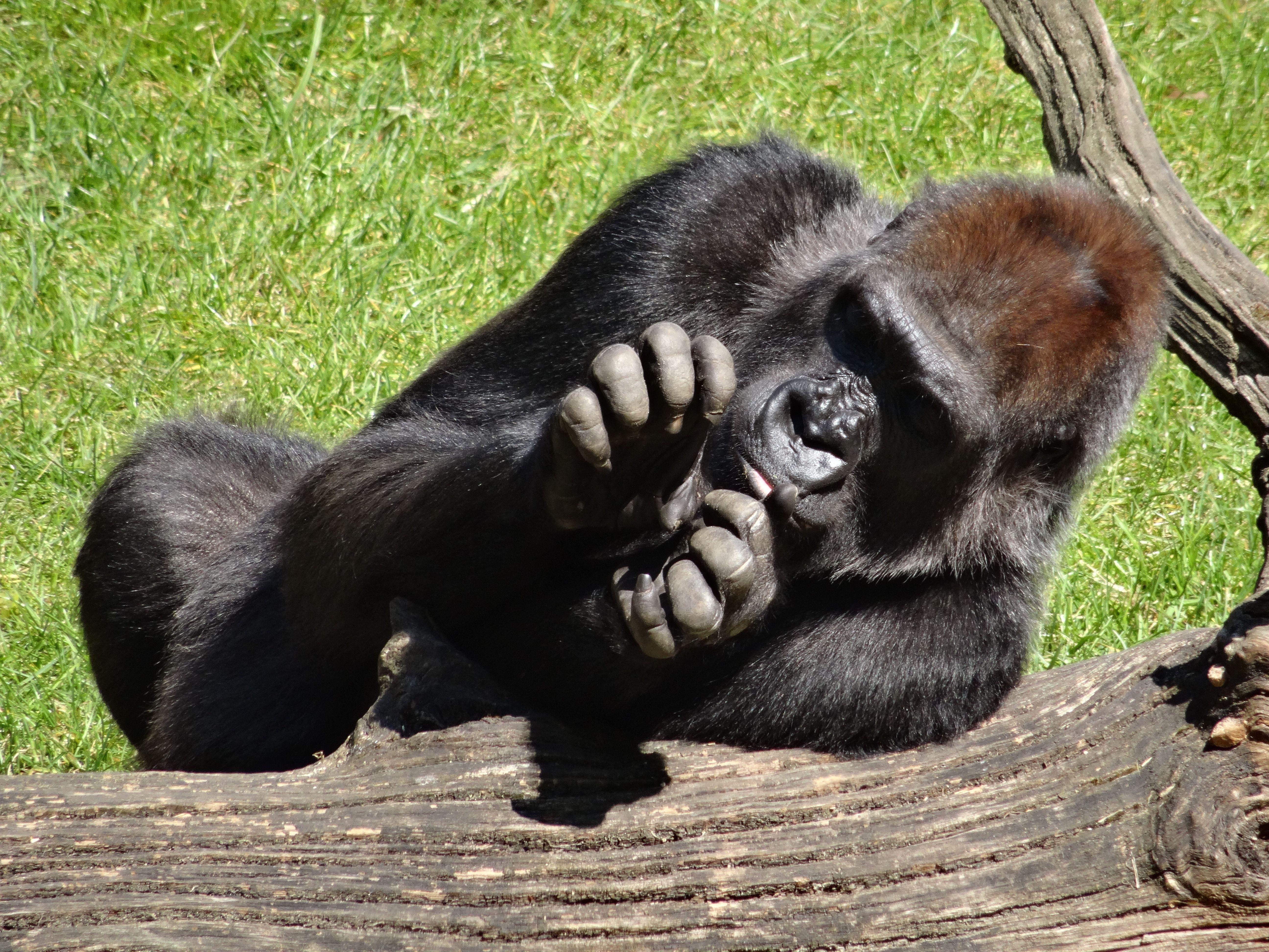 Gorilla (22)