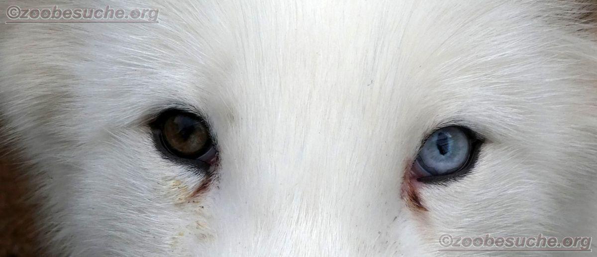 Polarfuchs  (13)
