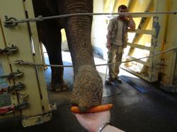 Elefantendame Indra