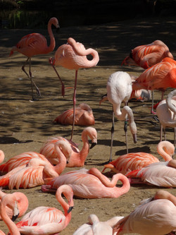 Flamingo  (1)