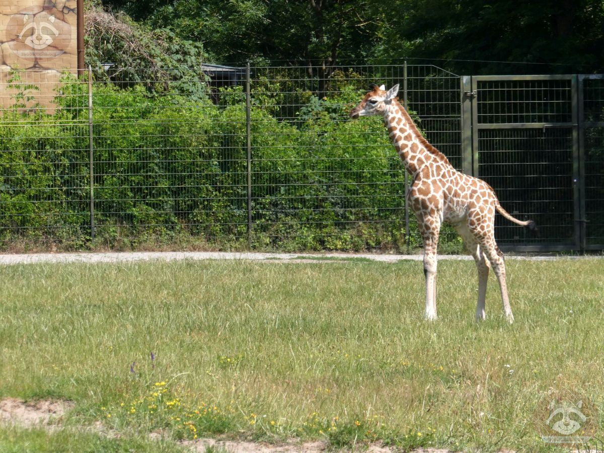 Giraffe Henry  (3)
