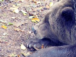 Bären  (1)