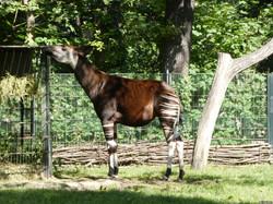 Okapi  (15)
