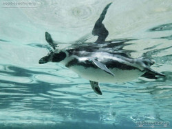 Pinguin  (9)