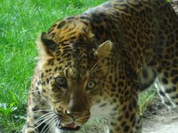 Leopard  (7)