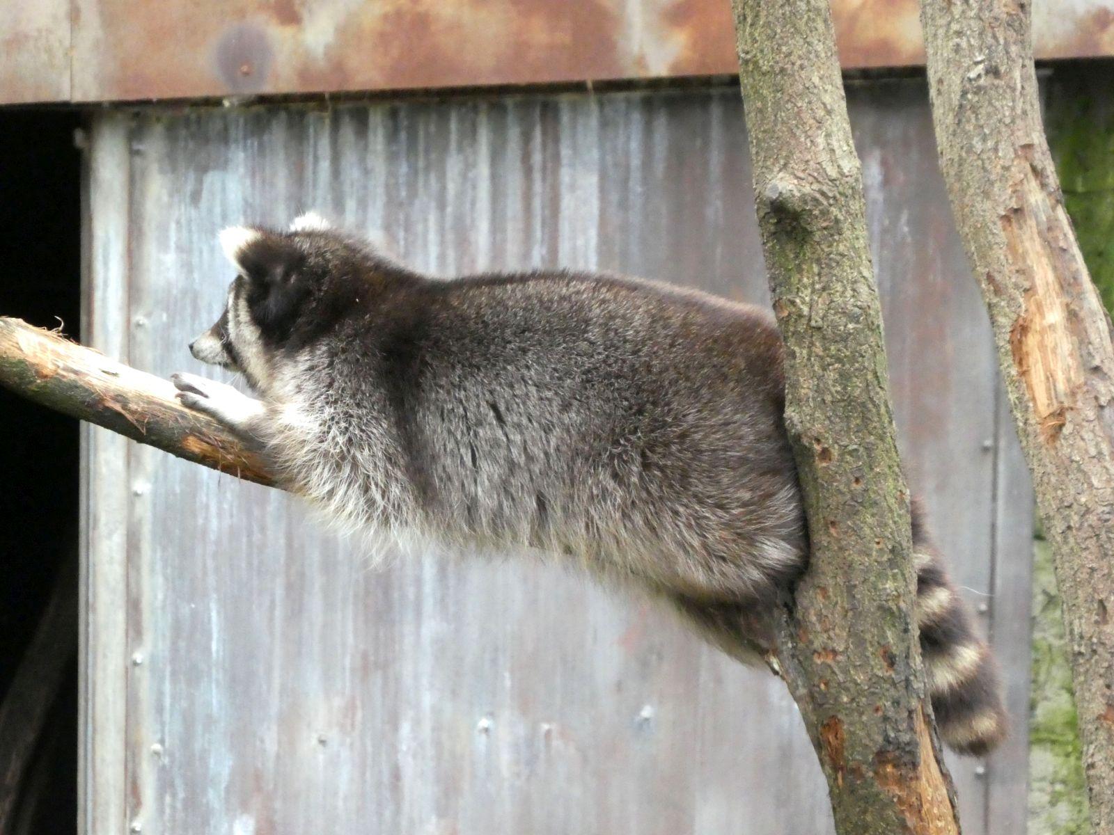 Waschbären  (14)