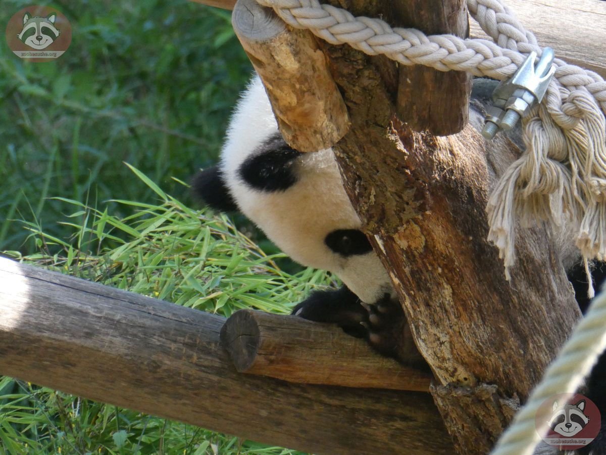 Panda Jungtier  (3)