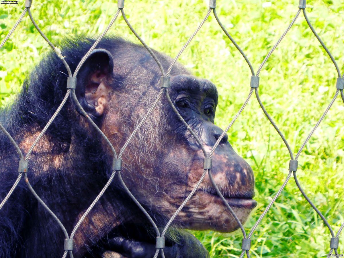 Schimpanse  (8)