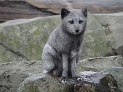 Polarfuchs  (5)