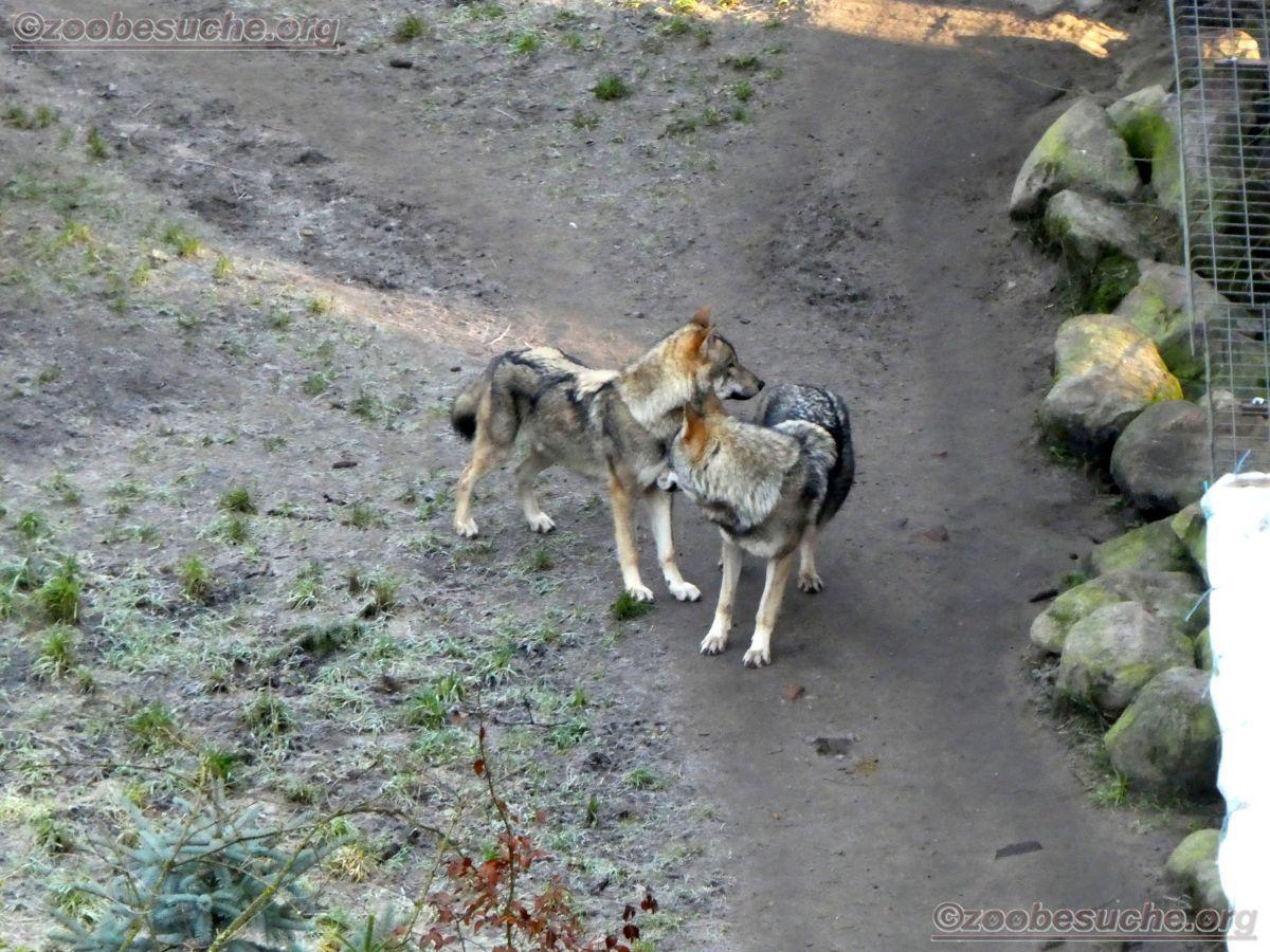 Wölfe  (2)