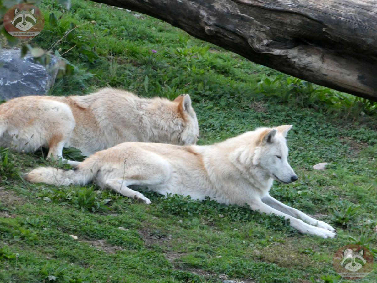 Timberwolf (7)