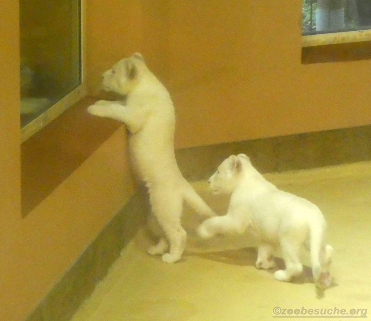 Weiße Löwen Jungtiere (1)