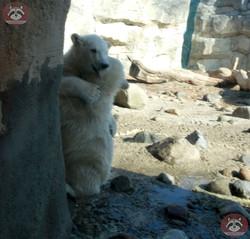 Eisbären  (12)