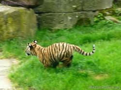 Tiger Jungtiere  (46)