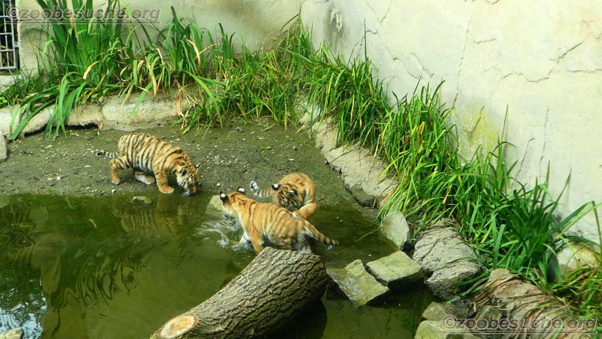 Tiger Jungtiere  (30)