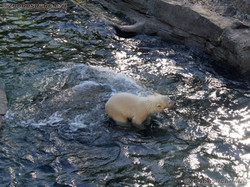 Eisbär  (52)