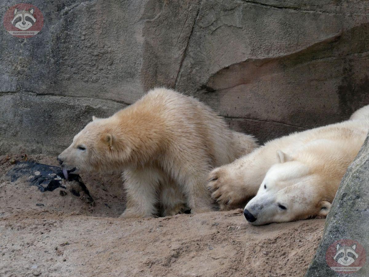 Eisbären_Milana_und_Nana_(7)
