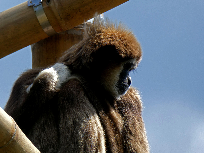 Gibbon  (4)