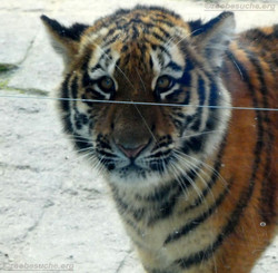 Tiger Jungtier  (3)