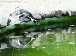Humbolt Pinguine  (5)