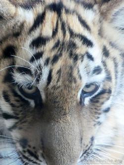 Tiger Jungtier Jaro  (15)